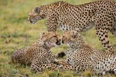 Trois guépards dans la savane kenya tanzania l'afrique Stationnement national serengeti Maasai Mara Photographie stock