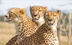 Trois guépards en stationnement de safari Photographie stock libre de droits