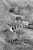 Trois guépards - Namibie Photographie stock