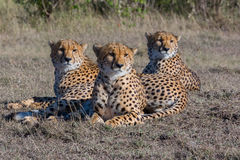 Trois guépards se situant à la lumière du soleil tôt, masais Mara, Kenya Image libre de droits