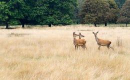 Trois hinds de cerfs communs rouges, curieux, dans la longue observation d'herbe Images libres de droits