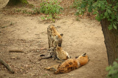 Trois hyènes repérées de repos - hyènes riantes images stock