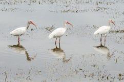 Trois IBIS blanc, albus d'Eudocimus, oiseaux ont aligné Images stock