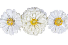 Trois inflorescences des zinnias de fleurs sur un fond blanc Photos stock