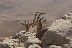 Trois jeunes chèvres de montagne regardent le désert de Judean reposant l'AMO Image stock