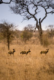 Trois jeunes chiens sauvages africains se tenant dans la savane, Kruger, Afrique du Sud image stock