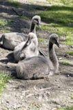 Trois jeunes jeunes cygnes photo libre de droits