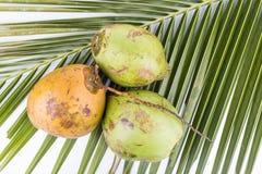 Trois jeunes et noix de coco verte organique juteuse sur la palmette Photographie stock libre de droits