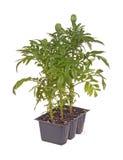 Trois jeunes plantes de souci prêtes pour la transplantation Photo stock