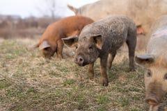Trois jeunes porcs de mangulitsa dans une rangée Image libre de droits