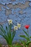 Trois jonquilles blanches un mur rouge d'épluchage de tulipe Photo stock