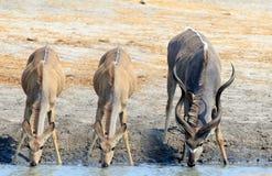 Trois Kudu buvant d'un point d'eau images libres de droits