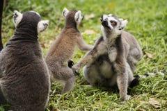 Trois lémurs anneau-coupés la queue Photographie stock libre de droits