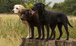 Trois labradors Photos libres de droits