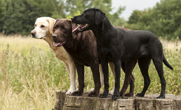 Trois labradors Photo libre de droits