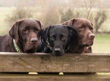 Trois labradors Photographie stock libre de droits