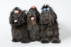 Trois lap-dogs dans le studio image stock