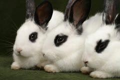 Trois lapins photographie stock
