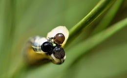 Trois larves de tenthrède sur une aiguille simple de pin photo libre de droits