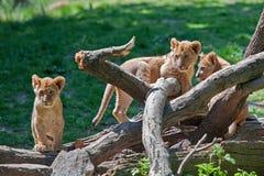 Trois lion Cubs Images libres de droits