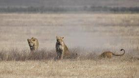 Trois lionnes poursuivent une phacochère souterraine Photo libre de droits