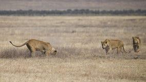 Trois lionnes poursuivent une phacochère souterraine Image libre de droits