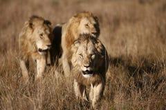 Trois lions mâles sur le masai Mara Photos stock