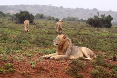 Trois lions sauvages Photo stock