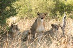 Trois lions se reposant tandis que les moyens regardent directement en avant dans l'appareil-photo photographie stock libre de droits