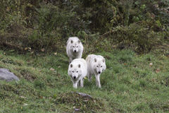 Trois loups arctiques Photo stock