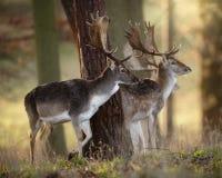 Trois mâles de cerfs communs affrichés dans un bois Photographie stock