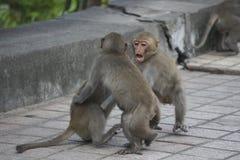 Trois macaques formosans en montagnes de ville de Kaohsiung, Taïwan, également appelé les cyclopis de Macaca Ils jouent les uns a photographie stock