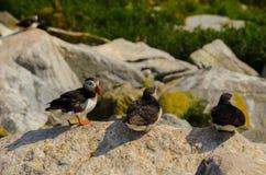 Trois macareux atlantiques se reposant sur une roche image libre de droits