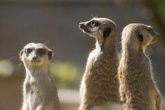 Trois meerkats Photographie stock libre de droits