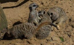 Trois Meerkats se reposant sur le sable Image libre de droits