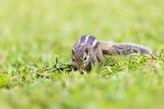 Trois mignons et curieux écureuil rayé de la paume Photos libres de droits