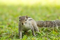 Trois mignons et curieux écureuil rayé de la paume Images stock