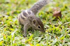 Trois mignons et curieux écureuil rayé de la paume Photo libre de droits