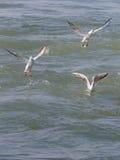 Trois mouettes, la Mer Noire Image libre de droits