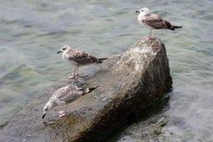Trois mouettes se reposant sur la roche Image stock