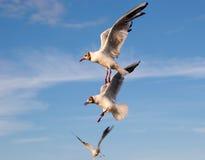 Trois mouettes volantes Photo libre de droits