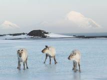 Trois mousquetaires arctiques, rennes sauvages Photo libre de droits