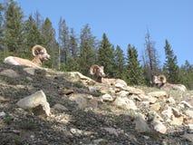 Trois moutons de montagne Photos stock