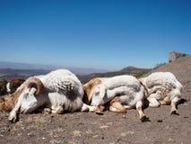 Trois moutons de sommeil dans l'etopia photos libres de droits