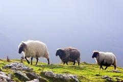 Trois moutons en montagne Photographie stock