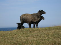 Trois moutons noirs, une brebis et trois agneaux, sur une colline avec la mer à l'arrière-plan Images stock