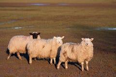 Trois moutons restant dans une ligne Photographie stock
