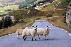 Trois moutons traversant la route en Norvège Image stock