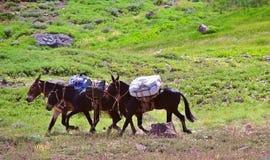 Trois mules Image stock