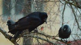 Trois noirs, corneille hérissée se reposant sur les branches d'arbre nues en automne en retard banque de vidéos